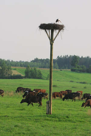 Cows grazing in green meadow in summer day. photo
