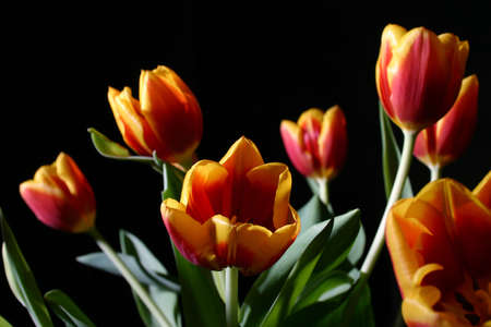 Bouquet of colorful tulips on dark background photo