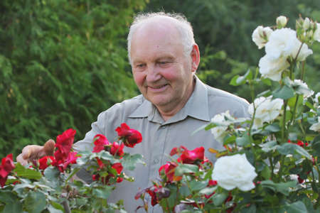 outdoor activities: Portrait of old man - grower of roses next to rose bush in his beautiful garden.  Stock Photo