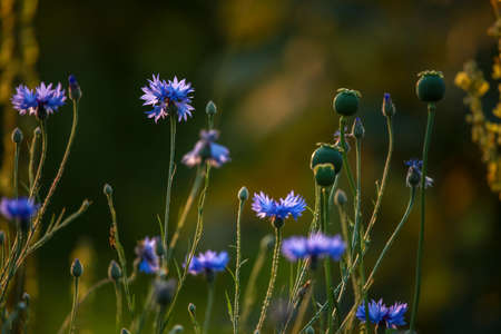 Cornflowers and poppies on a green grass. Blooming flowers. Meadow with cornflowers and poppies. Wild flowers. Nature flower. Poppy seed boxes on field. 版權商用圖片