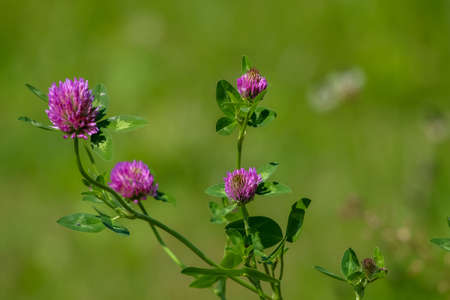 Clover flowers. Blooming flowers. Pink clovers on a green grass. Meadow with pink flowers. Wild violet flowers. Nature flower. Clowers on field. Clover is herbaceous plant of the pea family, with dense globular flower heads and leaves 版權商用圖片