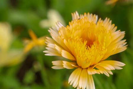 Yellow calendula flowers. Blooming marigold flowers. Yellow calendula on a green grass. Garden with calendula. Garden flowers. Nature flowers in garden. Blooming calendula. Reklamní fotografie