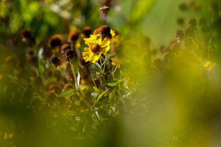 Yellow flower. Blooming flower. Yellow flower on a green grass. Garden with deflorate flowers. Garden flowers. Nature flowers in garden.