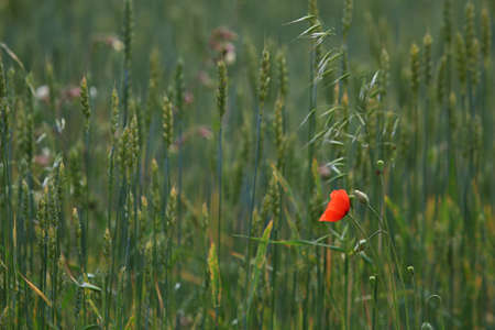 View of one red poppy flower on background of cereal field; Red poppy flower on a green grass.  Meadow with flowers. Wild flowers. Nature flower.