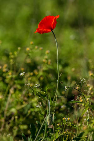 Top view of one red poppy flower on background of green meadow.
