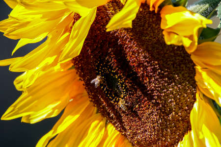Closeup of sunflower. Twoo bees on sunflower. Sunflower in summer day. Blooming sunflower. Sunflower is tall plant of the daisy family, with very large golden-rayed flowers. Stok Fotoğraf
