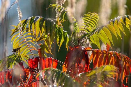 Colorful vibrant leaves on a sumac plant during the autumn season in Latvia. Sumac with red and green leaves. 版權商用圖片