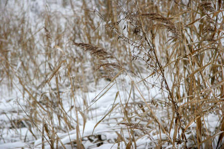 Dry grass cowered with snow as nature background. Winter in Latvia. Grass with snow in winter season Reklamní fotografie