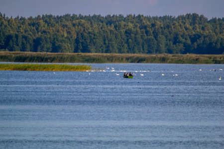 Floating waterfowl, young swans and ducks, wild birds swimming on the lake, wildlife landscape. Swans swimming on lake in Kemeri National park. Birds swims in Kaniera lake, Latvia; Large colony with white swans swims in the lake. Imagens