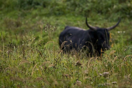 Bull grazing in a meadow in the mist. Bull in a foggy meadow in autumn. Ox and foggy morning in Kemeri National Park, Latvia. Ox is out of focus. Bull grazing in the meadow on misty summer morning. Reklamní fotografie
