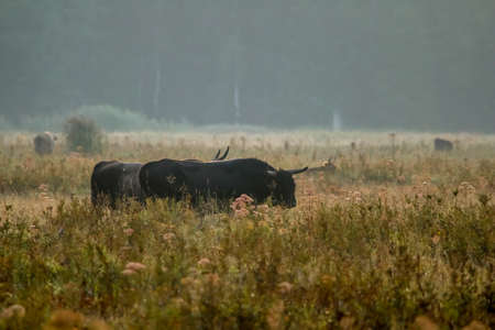 Bull grazing in a meadow in the mist. Ox in a foggy meadow in autumn. Bull and foggy morning in Kemeri National Park, Latvia. Bull grazing in the meadow on misty summer morning.