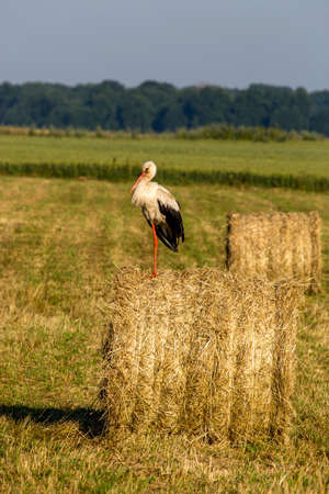 White stork on dry hay bale in green meadow, Latvia. Stork is tall long-legged wading bird with a long bill, with white and black plumage. Фото со стока