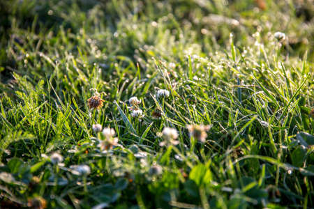 Close up of fresh thick grass with water drops after the rain. Dew drops on green grass with clover in Latvia. Background of wet grass. Rain is the condensed moisture of the atmosphere falling visibly in separate drops.