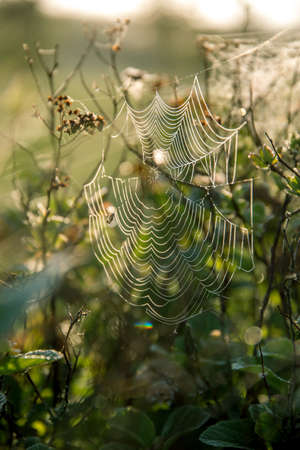 Shining water drops on spider web on green forest background in Latvia. Spider web is web made by spider. Spider net in nature. Banco de Imagens