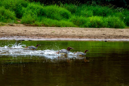 Ducks swimming in the river Gauja. Ducks on coast of river Gauja in Latvia. Duck is a waterbird with a broad blunt bill, short legs, webbed feet, and a waddling gait. Banco de Imagens