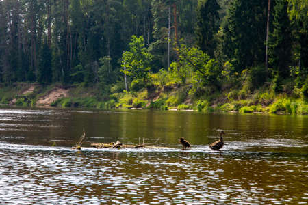 Ducks swimming in the river Gauja. Ducks on the wooden log in the middle of the river Gauja in Latvia. Duck is a waterbird with a broad blunt bill, short legs, webbed feet, and a waddling gait. Banco de Imagens