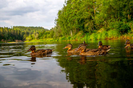 Family of ducks swimming in the river Gauja in sunny summer day, Latvia. Duck is a waterbird with a broad blunt bill, short legs, webbed feet, and a waddling gait. 写真素材