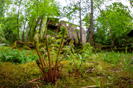 Fern in the foreground and old mill in the background. Beautiful forest park with ferns and ruins of watermill in Latvia. Shot with fisheye lens. Stock Photo
