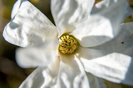 Magnolia flower on magnolia tree. White flowering magnolia flower. Closeup of beautiful blooming white magnolia flower. Фото со стока