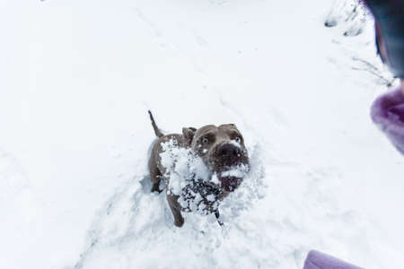 retreiver: dog playing and running through winter snow