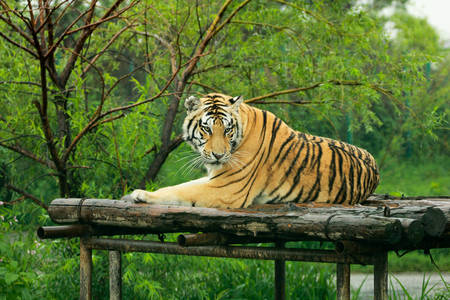 Tiger has decided to lay down, have a rest