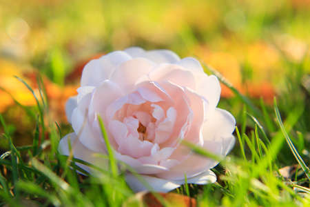 Large red rose in a green grass Stock Photo
