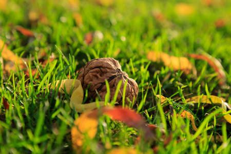 Autumn harvest of walnuts gathered on green grass in the garden, with square aspect ratio Stock Photo