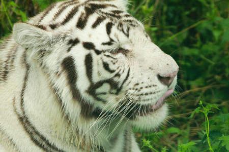 White tiger walking in the forest Stock Photo