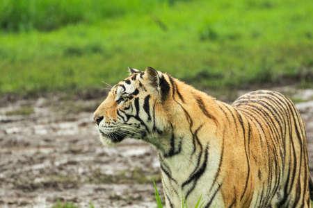 Big wild cat, endangered animal. End of dry season, beginning monsoon. Tiger walking in green vegetation. Wild Asia, wildlife