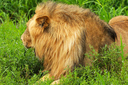 Lion laying on the grass Stock Photo