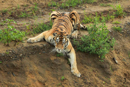 Big wild cat, endangered animal. End of dry season, beginning monsoon. Tiger walking in green vegetation. Wild Asia, wildlife