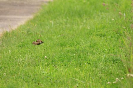 Sparrow standing in spring green grass Stock Photo