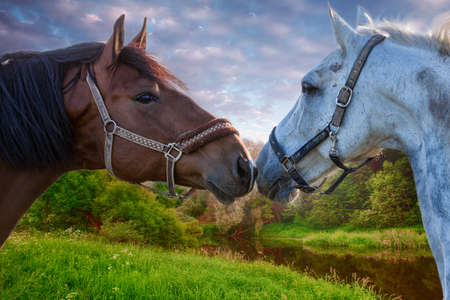 Two bay horses playing with each other in a green field at sunset Stock Photo