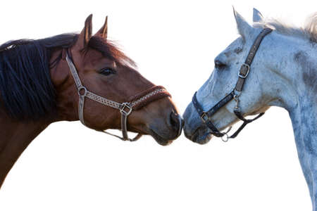 two horses on a white background closeup Stock Photo