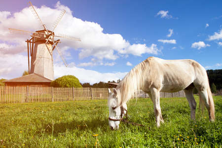 A white horse grazing near a wooden mill on the spring meadow near the old village