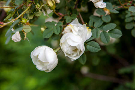 White Flowers of a dogrose on a tree