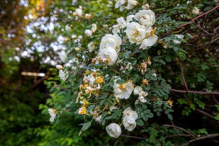 Weiße Blumen Einer Dogrose Auf Einem Baum Lizenzfreie Fotos, Bilder ...
