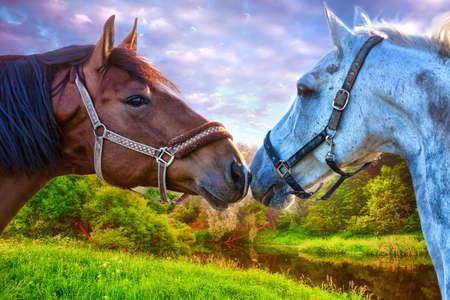 black horse and white horse on a beautiful meadow Фото со стока