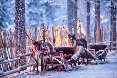 Reindeer in harness in a beautiful fabulous winter forest Reklamní fotografie
