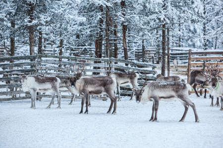Rentierherde, im Winter, Lappland, Nordfinnland Standard-Bild