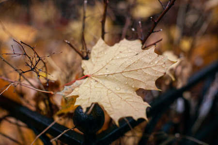 Withered brown red oak leaf with raindrops on the ground