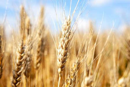 Gold wheat field and blue sky Фото со стока