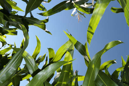 A maize field is in the summer under a blue sky  Stock Photo