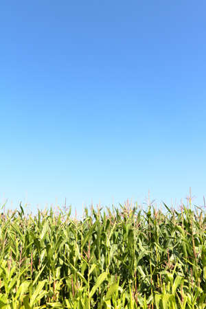 corn stalk: A maize field is in the summer under a blue sky  Stock Photo