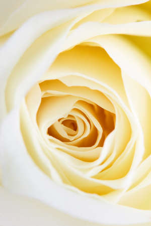 Blossom of a rose with its petals arranged in a circle. Banco de Imagens