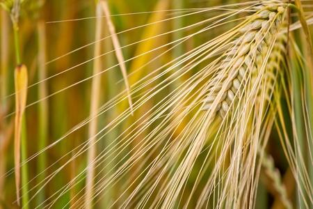 corn ear: Oreja de ma�z Foto de archivo