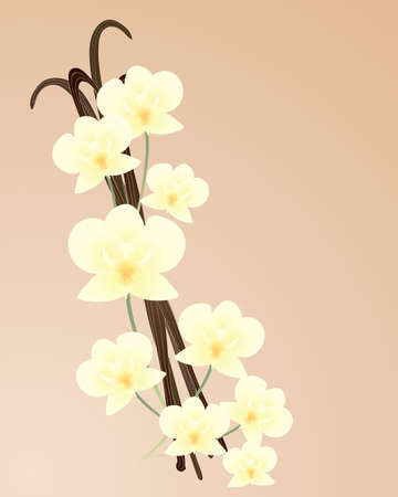 an illustration of  beautiful cream color orchid blooms with vanilla pods on a light beige background Vector