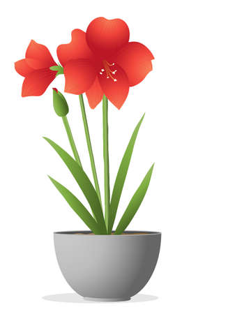indoor garden: an illustration of a beautiful bright red amaryllis plant with flower bud and green foliage in a metallic container on a white background Illustration