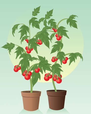 summer vegetable: an illustration of two healthy organic tomato plants with green foliage and ripe juicy red fruit in terracotta pots on a green background Illustration