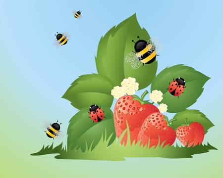 an illustration of ladybugs and bumble bees in a strawberry patch with ripe fruit green grass and blue sky in summer Vector